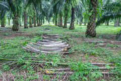 Stacking of fronds in the oil palm plantation. Stacking of fronds for conserving soil and water  in the oil palm plantation Royalty Free Stock Photography