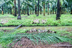 Stacking of fronds in the oil palm plantation. Stacking of fronds beside a stream for conserving soil and water  in the oil palm plantation Stock Photo