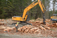 Stacking logs Stock Image