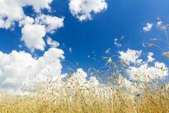 Stackmolnmoln på aero blå himmel över mognande fält för havresädesslagöron Arkivfoton
