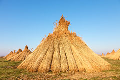 Stacks of freshly harvested reed Stock Image