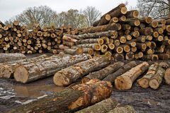Stacks of Logs Awaiting Trip to the Sawmill Stock Photo