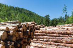 Stacks of logs at a forest logging site Royalty Free Stock Image