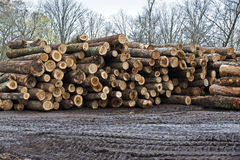 Stacks of Newly Cut Logs Stock Photo