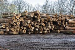 Stacks of Newly Cut Logs Stock Photo