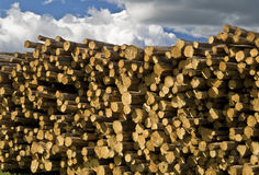 Stacks of Pine Logs Stock Photo