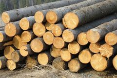 Stacks of spruce logs Stock Photos