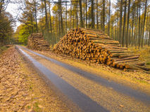 Stacks of Timber in a Yellow Colored Larch Forest Stock Image