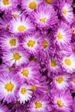 Stacy Pinkk Garden Mum Chrysanthemum in der Blüte mit gelber Mitte stockbilder