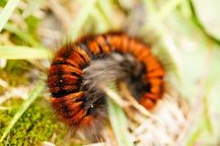 Staczająca się larwa Fotografia Stock