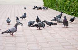 Stad ââpigeons Stock Foto's