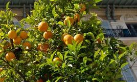 Stad av Nice - orange träd Royaltyfria Bilder