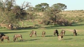 stada błękitny wildebeest zbiory wideo