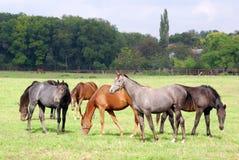 stada koni paśnik Zdjęcia Stock