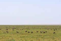 Stada w sawannie Serengeti Tanzania, Afryka Obraz Stock