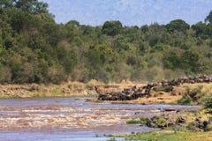 Stada wildebeest na brzeg Mara rzeka Kenja, Afryka Obraz Stock