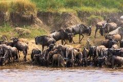 Stada wildebeest na Mara rzece Kenja, Afryka Obrazy Royalty Free