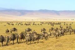 Stada wildebeests chodzi w Ngorongoro Obraz Royalty Free