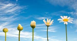 Stadia van de groei en het bloeien van een madeliefje, blauwe hemelachtergrond royalty-vrije stock fotografie