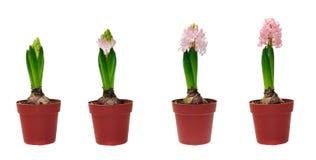 Stadia van ontwikkeling van een hyacint Stock Foto's
