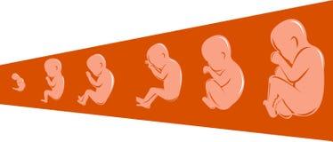 Stadia van ontwikkeling van foetus Stock Foto's