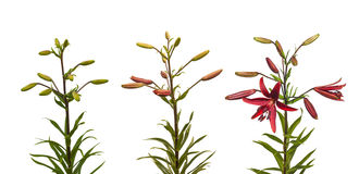 Stadien von asiatischen Kreuzungen der blühenden Lilien Stockbild