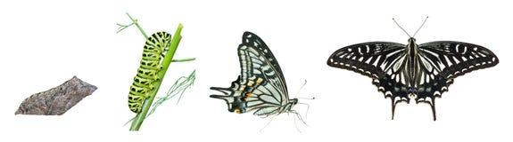 Stadien von Schmetterling 4 Stockbild
