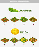 Stadium des Wachstumsgemüses Gurke und Melone Stockfotos