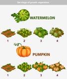 Stadium des Wachstumsgemüses Wassermelone und Kürbis Stockfoto