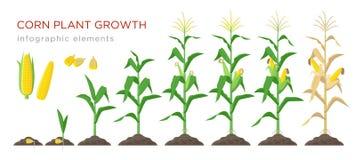 Stadiumsvektorillustration des Mais wachsende im flachen Entwurf Pflanzender Prozess der Maispflanze Maiswachstum vom Korn zu vektor abbildung