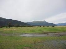 Stado żubra pasanie w trawiastym polu zdjęcia stock