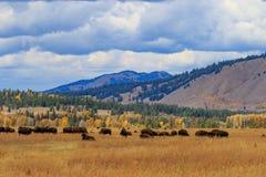 Stado żubr w spadku w Wyoming zdjęcia stock