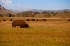 Stado żubr w Yellowstone parku narodowym, Wyoming USA zdjęcie royalty free