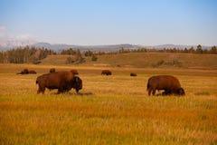Stado żubr w Yellowstone parku narodowym, Wyoming USA obrazy stock