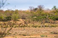 Stado żyrafy i zebry Stoi w Rzecznym łóżku, Południowa Afryka Fotografia Royalty Free
