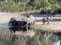 Stado Afrykańscy słonie przy Jeziorną podkową w Bwabwata, Namibia fotografia royalty free