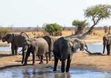 Stado Afrykańscy słonie przy scenicznym waterhole z drzewem i równiny tłem w Hwange parku narodowym, Zimbabwe zdjęcie royalty free