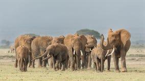 Stado Afrykańscy słonie w Amboseli, Kenja Zdjęcia Stock