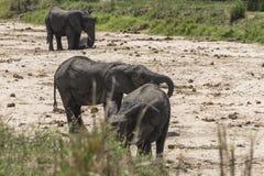 Stado afrykanina Bush słonie Obraz Stock