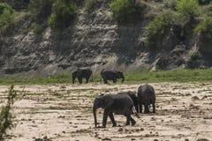 Stado afrykanina Bush słonie Zdjęcia Royalty Free