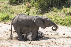 Stado afrykanina Bush słonie Fotografia Stock