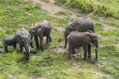 Stado afrykanina Bush słonie Zdjęcie Royalty Free