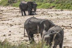 Stado afrykanina Bush słonie Zdjęcia Stock