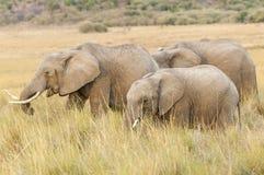 Stado afrykanina Bush słonie Obraz Royalty Free