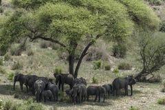 Stado afrykanina Bush słonie Obrazy Stock