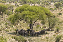 Stado afrykanina Bush słonie Obrazy Royalty Free