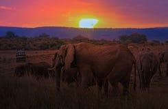 Stado afrykanina Bush słonie przy zmierzchem Fotografia Royalty Free