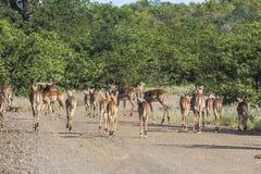 Stado Antilopes wpólnie inside Kruger park, Południowa Afryka fotografia stock