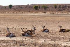 Stado antylopa, Afryka safari przyroda Fotografia Stock
