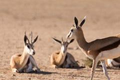 Stado antylopa, Afryka safari przyroda Obraz Royalty Free